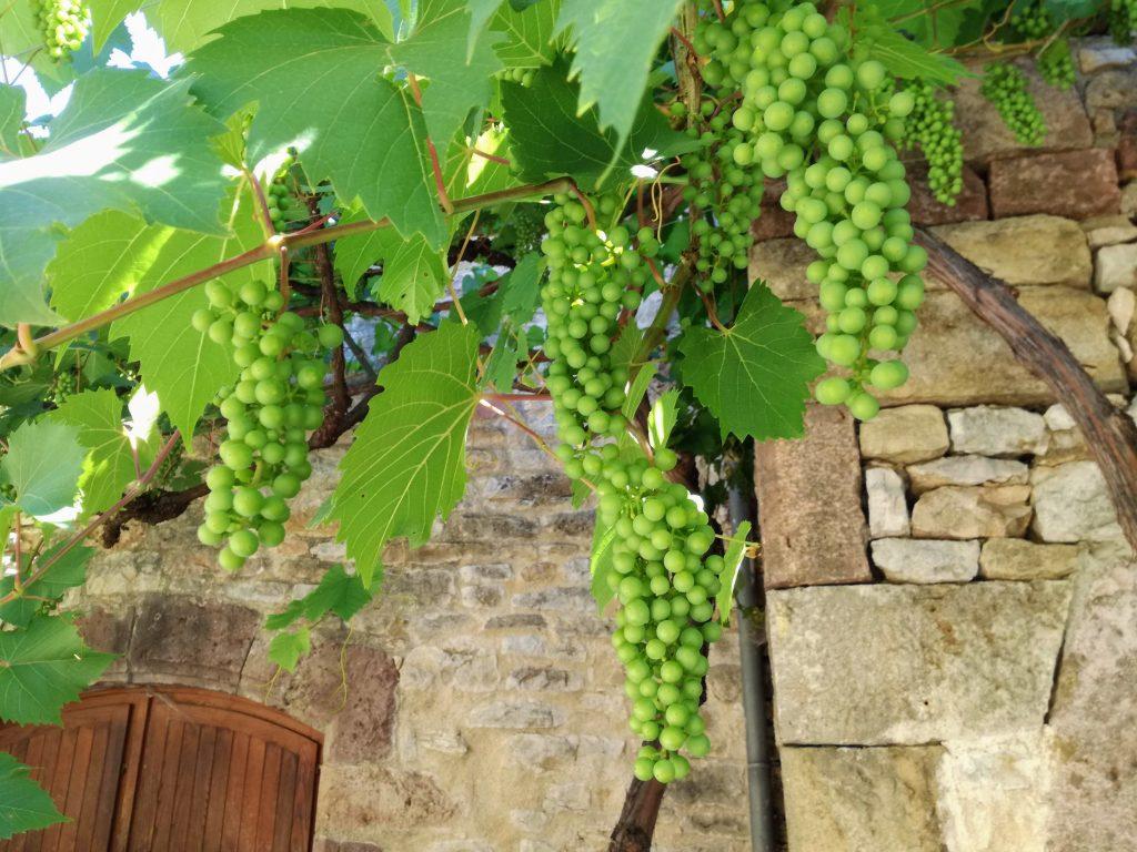 Trauben reifen kleine Naturcampingplatz an der Dordonge La Champagne