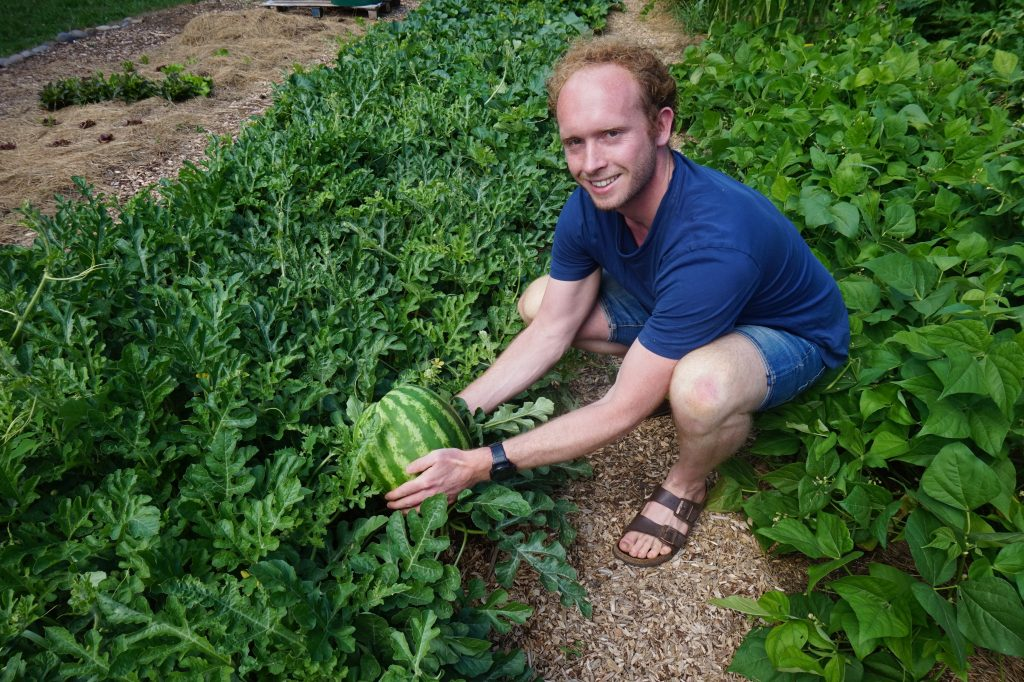 Gast oogst watermeloen uit de moestuin