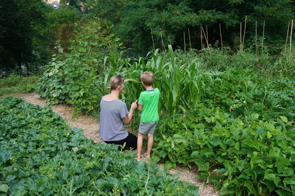 Moeder en zoon oogsten zoete mais uit de moestuin